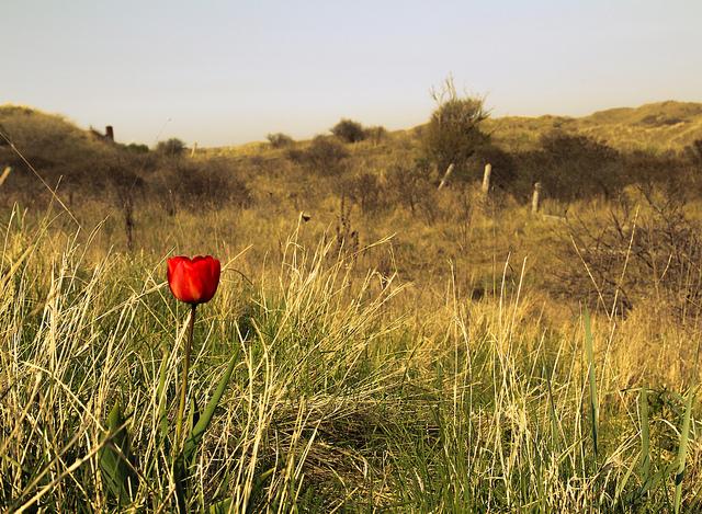 пейзажи нидерландов - тюльпаны