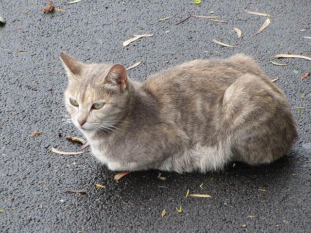 бесхвостые коты мэнкс