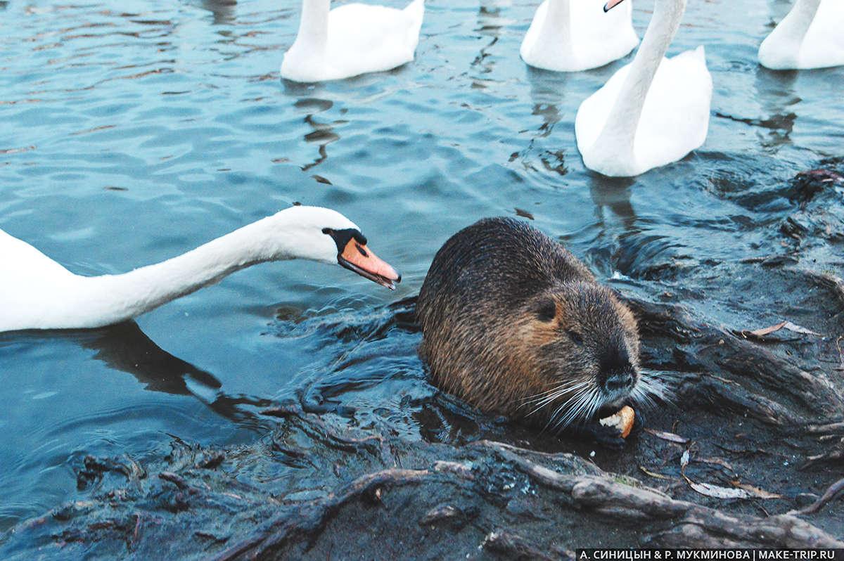 Лебеди в Праге