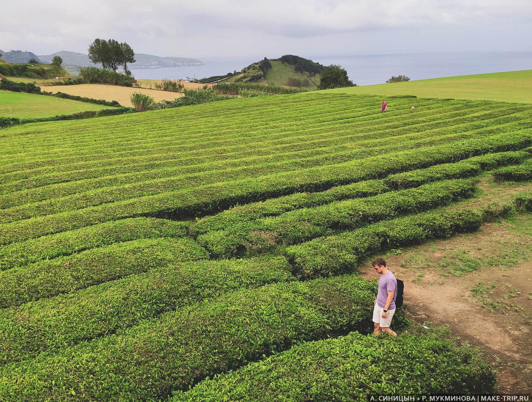 Плантация чая на Азорах